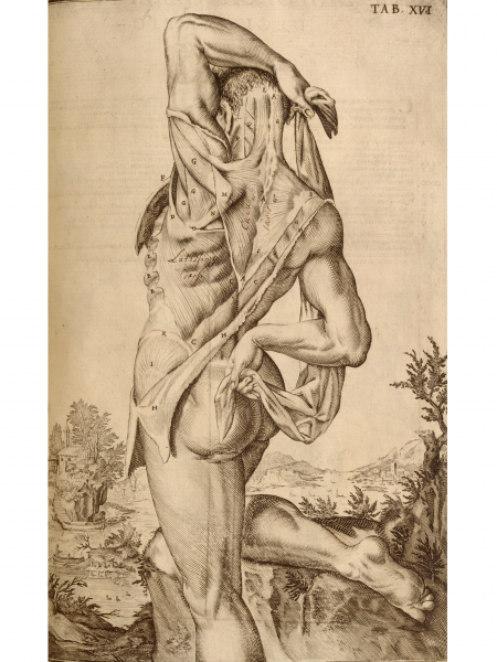 Standing Flayed Cadaver, Rear View
